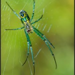Orchard Spider - Olympus E-M5 with Leica 45mm f/2.8 Macro
