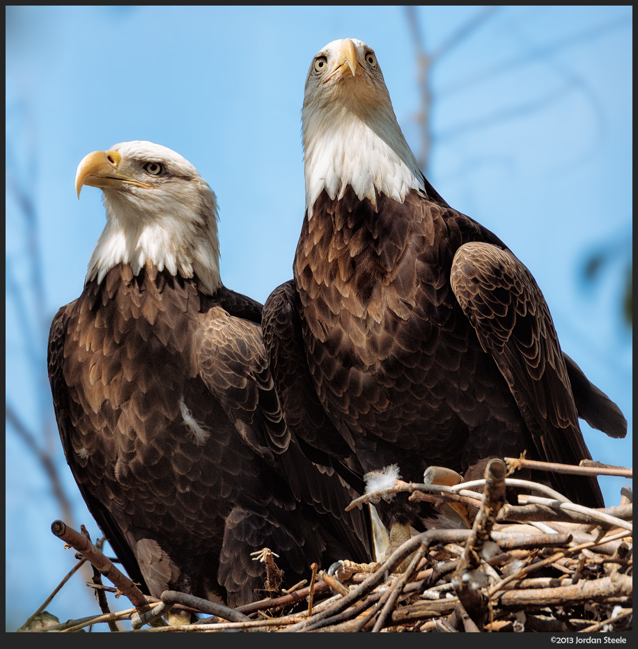 Bald Eagles - Olympus OM-D E-M5 with Olympus 75-300mm f/4.5-6.7 II @ 275mm, f/6.7