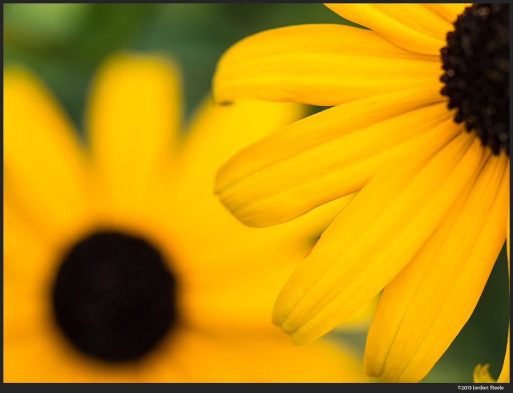 Black Eyed Susans - Olympus Pen E-P5 with Olympus 60mm f/2.8 Macro @ ISO 200