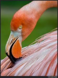 Flamingo - Olympus OM-D E-M5 with Olympus 75-300mm f/4.8-6.7 II @ 300mm, f/6.7