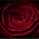 Red Rose - Fujifilm X-E2 with Fujinon XF 60mm f/2.4 Macro @ f/5.6 (bounced flash)