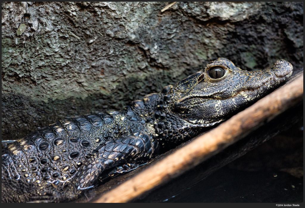 Baby Crocodile - Sony a6000 with Sigma 60mm f/2.8 @ f/2.8