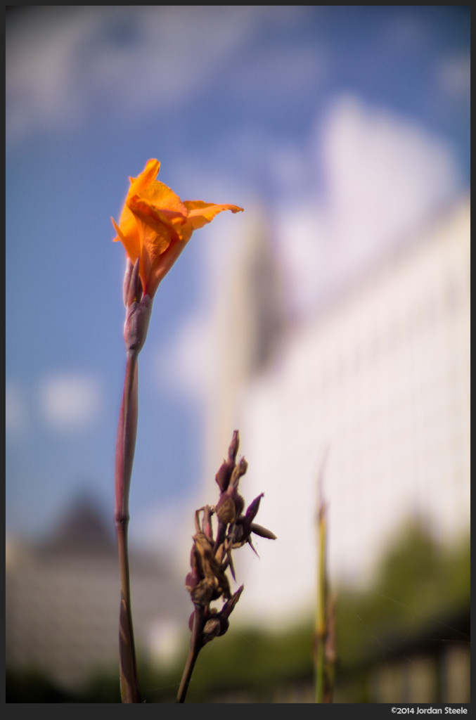 Flower in the City - Sony a6000 with Ibelux 40mm f/0.85 @ f/0.85