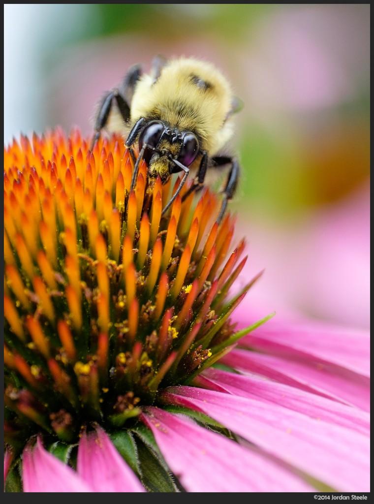 Bumblebee - - Fujifilm X-T1 with Zeiss Touit 50mm f/2.8 Macro @ f/5, 1/250s, ISO 500