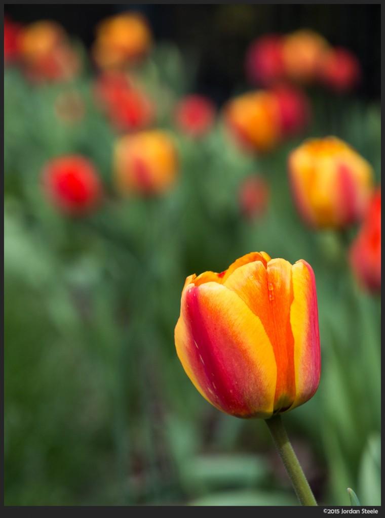 Tulip - Olympus OM-D E-M5 with Panasonic 35-100mm f/4-5.6 @ 100mm, f/5.6