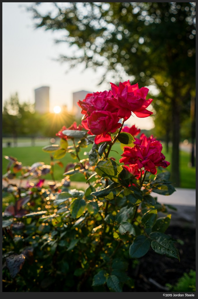 Morning Roses - Sony A7 II with Sony FE 28mm f/2 @ f/4