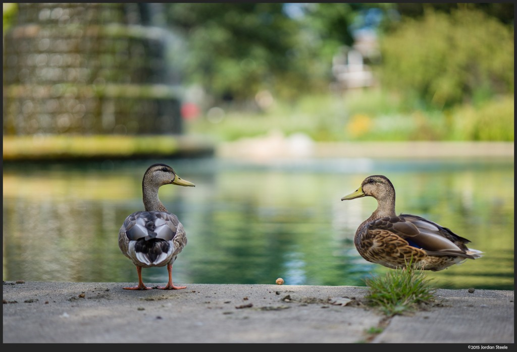 Ducks - Sony A7 II with Zeiss Batis 85mm f/1.8 @ f/1.8