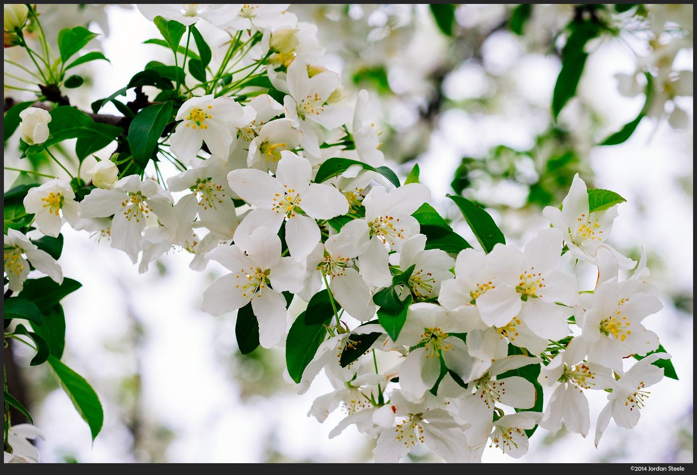 Blossoms - Fujifilm X-E1 with Fujinon XF 60mm f/2.4 R @ f/2.4