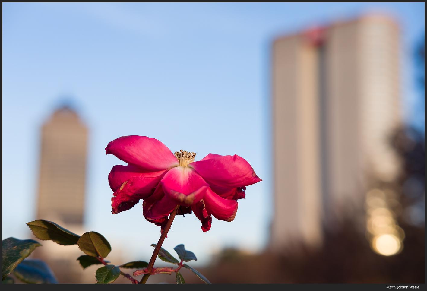 City Flower - Fujifilm X-E2 with Fujinon XF 35mm f/2 R WR @ f/5.6