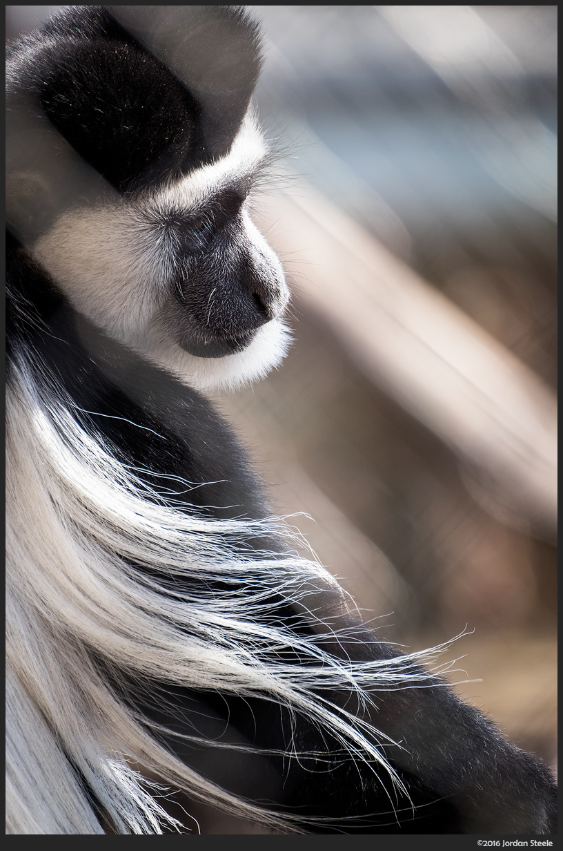 Colobus Monkey - Fujifilm X-T1 with Fujinon XF 100-400mm f/4.5-5.6 @