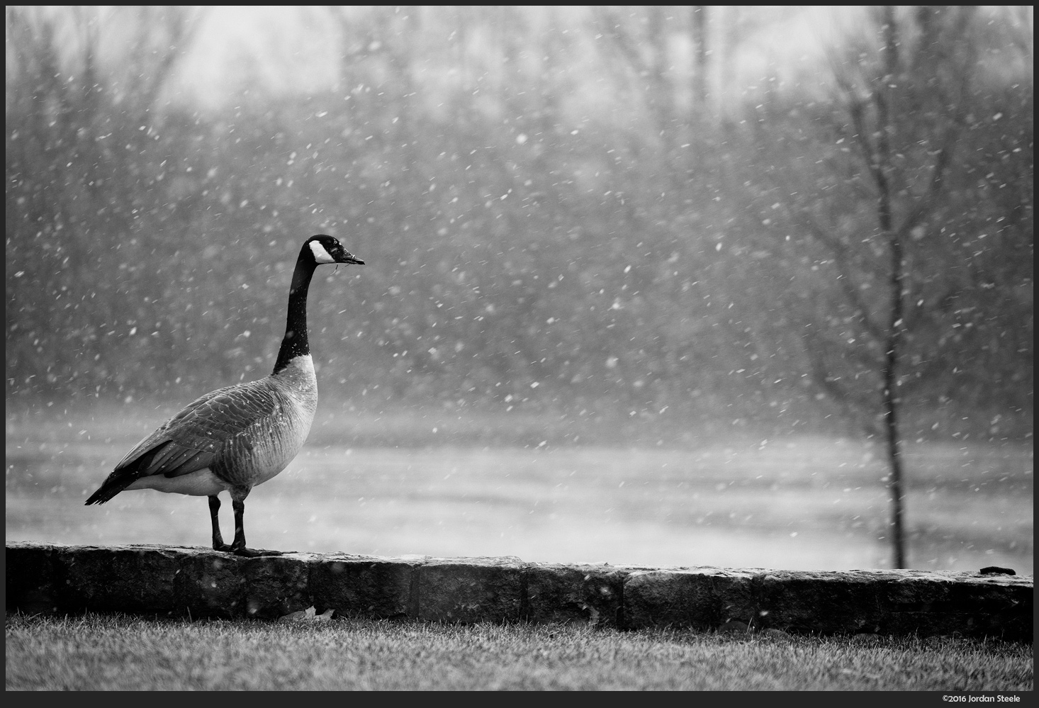 Goose in the Snow - Sony A7 II with Sony FE 70-200mm f/4 G OSS @