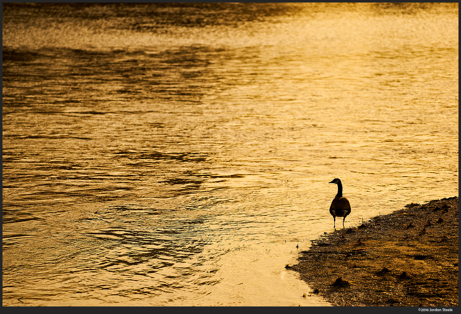 Goose at Sunrise - Sony A7 II with Sony FE 70-200mm f/4 G OSS @ 200mm, f/4