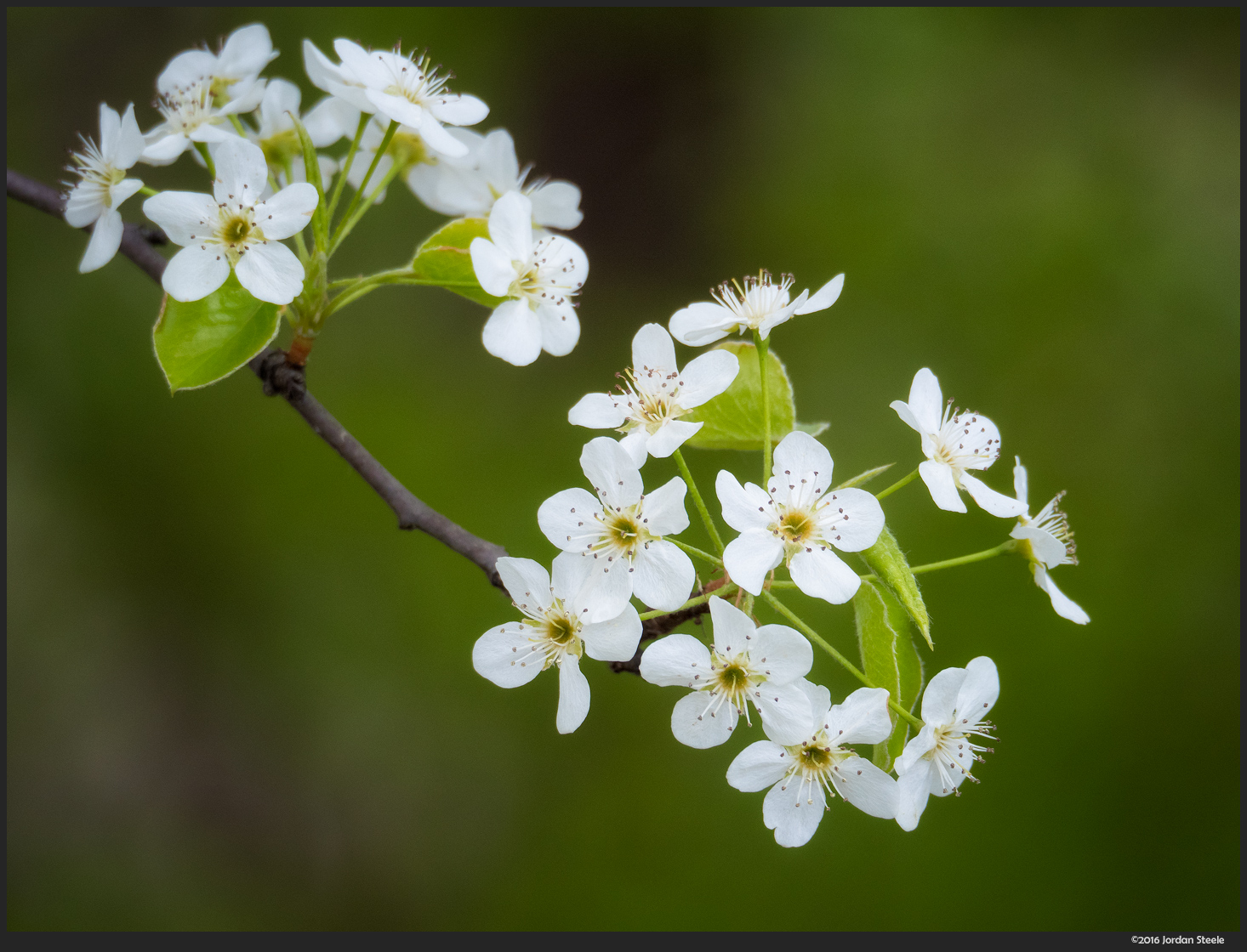 Blossoms - Olympus Pen-F with Olympus 60mm f/2.8 @