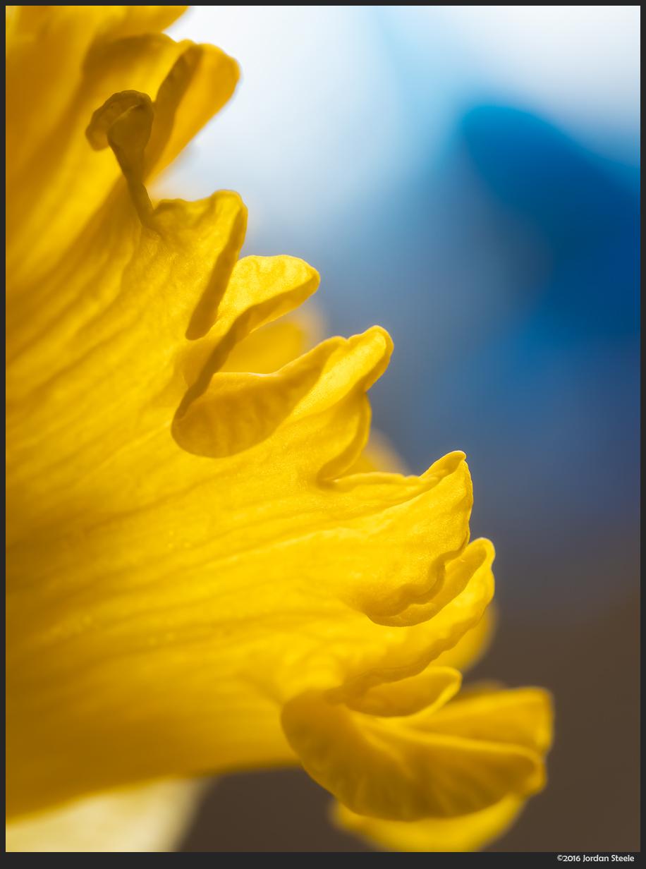 Daffodil - Olympus Pen-F with Olympus 60mm f/2.8 Macro @