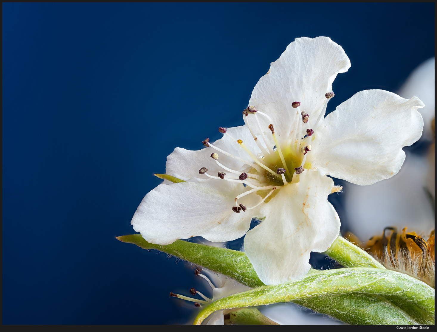 Blossom - Focus stack of 40 images, Olympus Pen-F with Olympus 60mm f/2.8 @ f/4