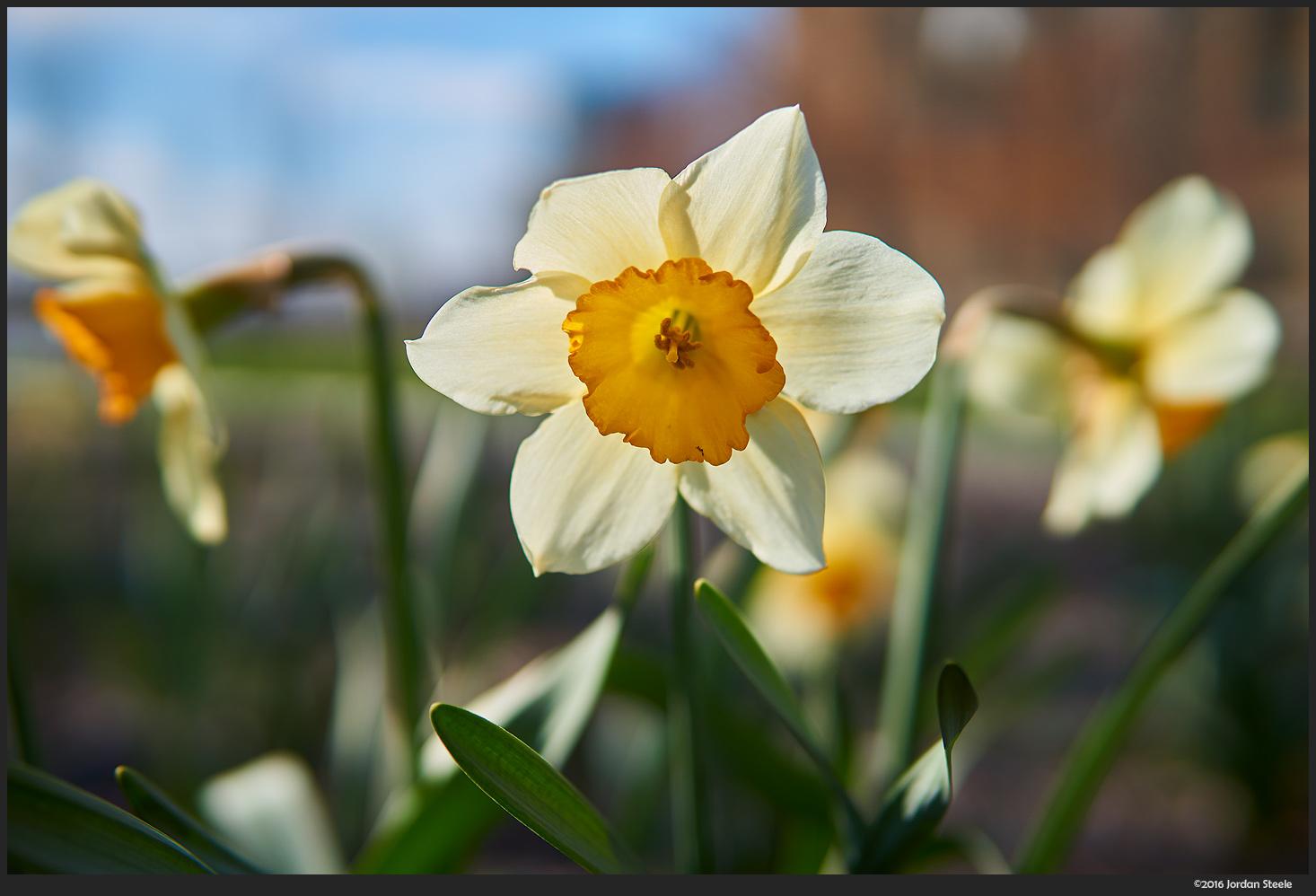 Daffodils - Sony a6000 with Sigma 30mm f/1.4 DC DN @ f/2