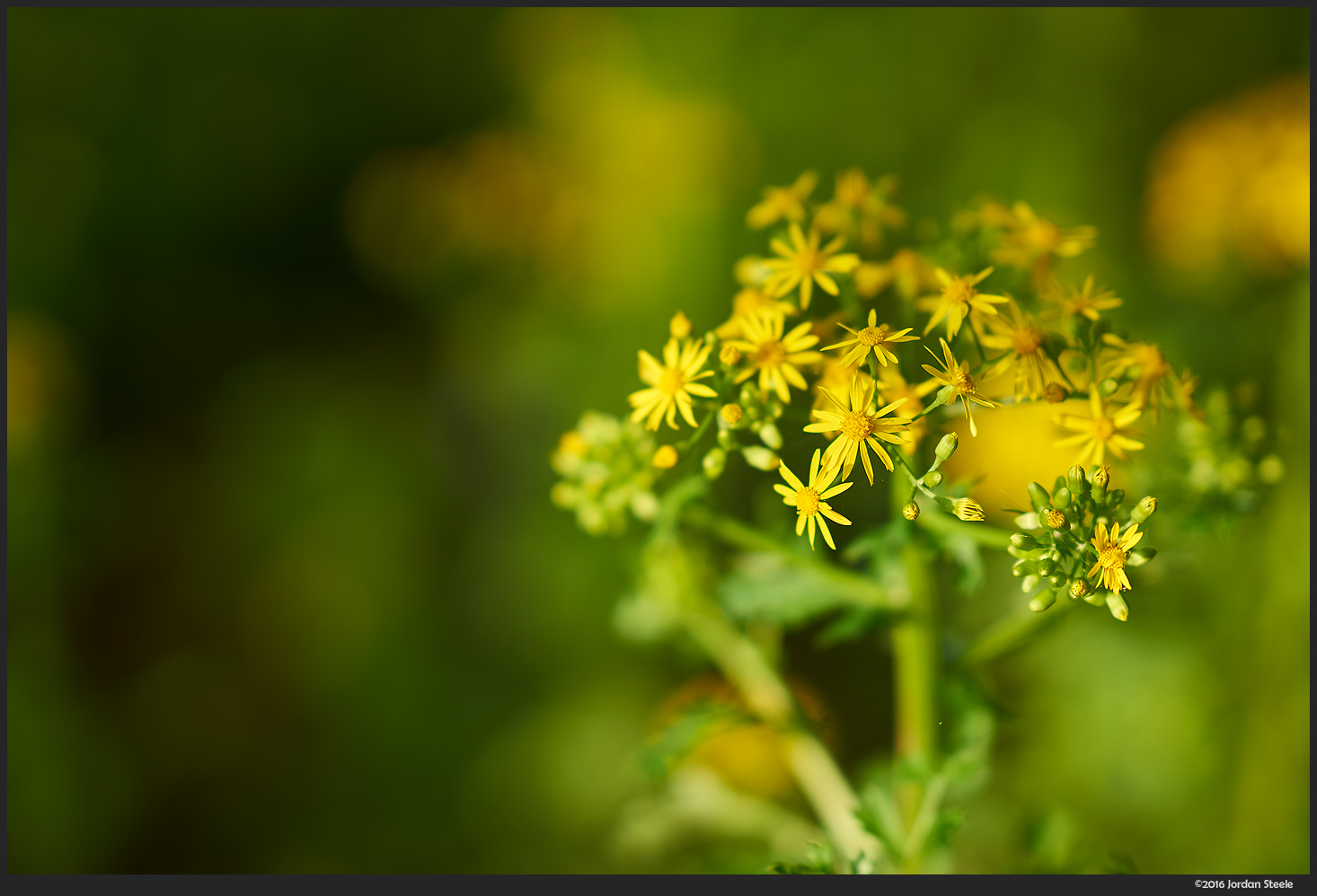 Yellow Flowers - Sony A7 II with Sony 85mm f/1.4 GM @