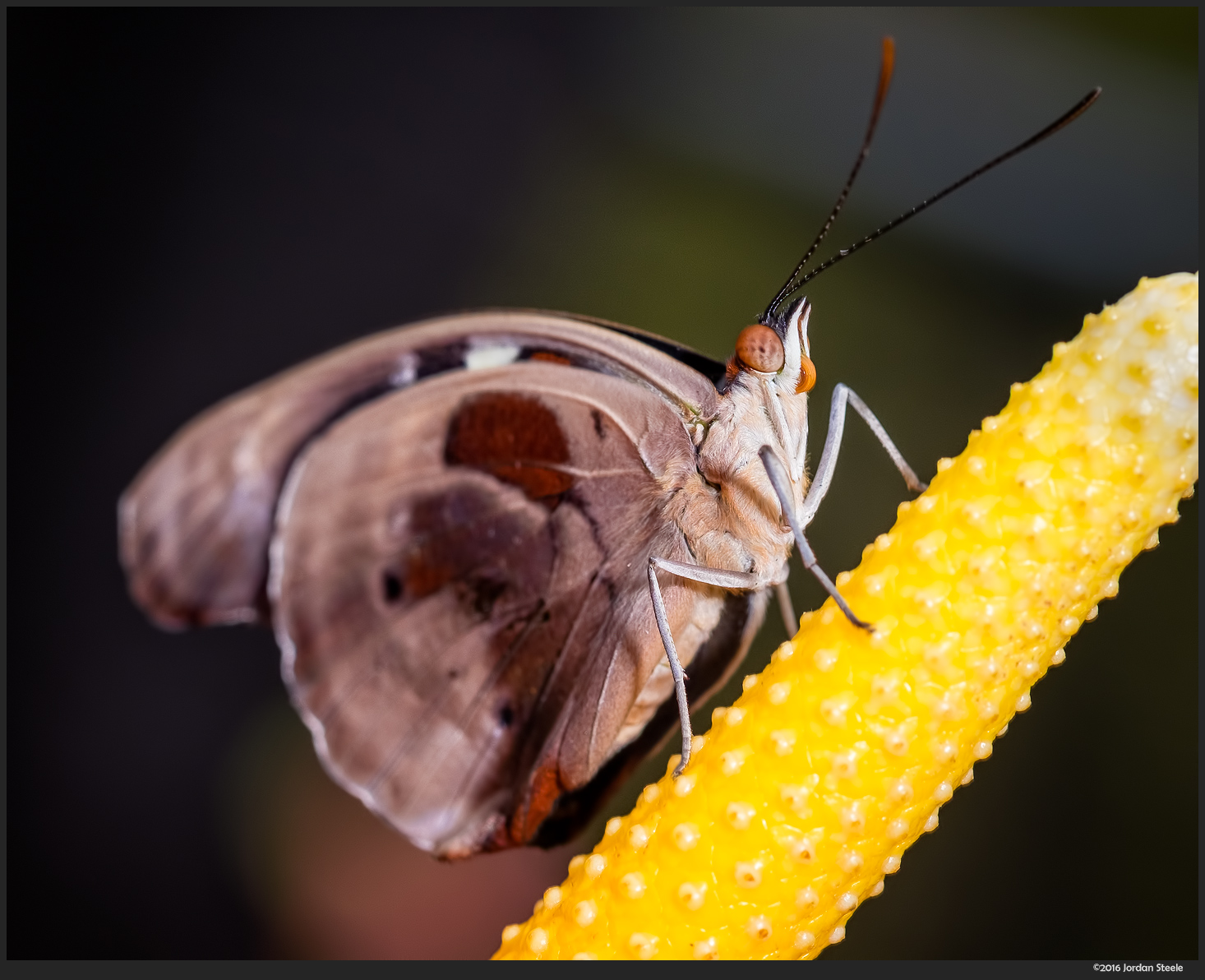 Butterfly - Fuji X-T1 with Fujinon XF 60mm f/2.4 with off-camera flash