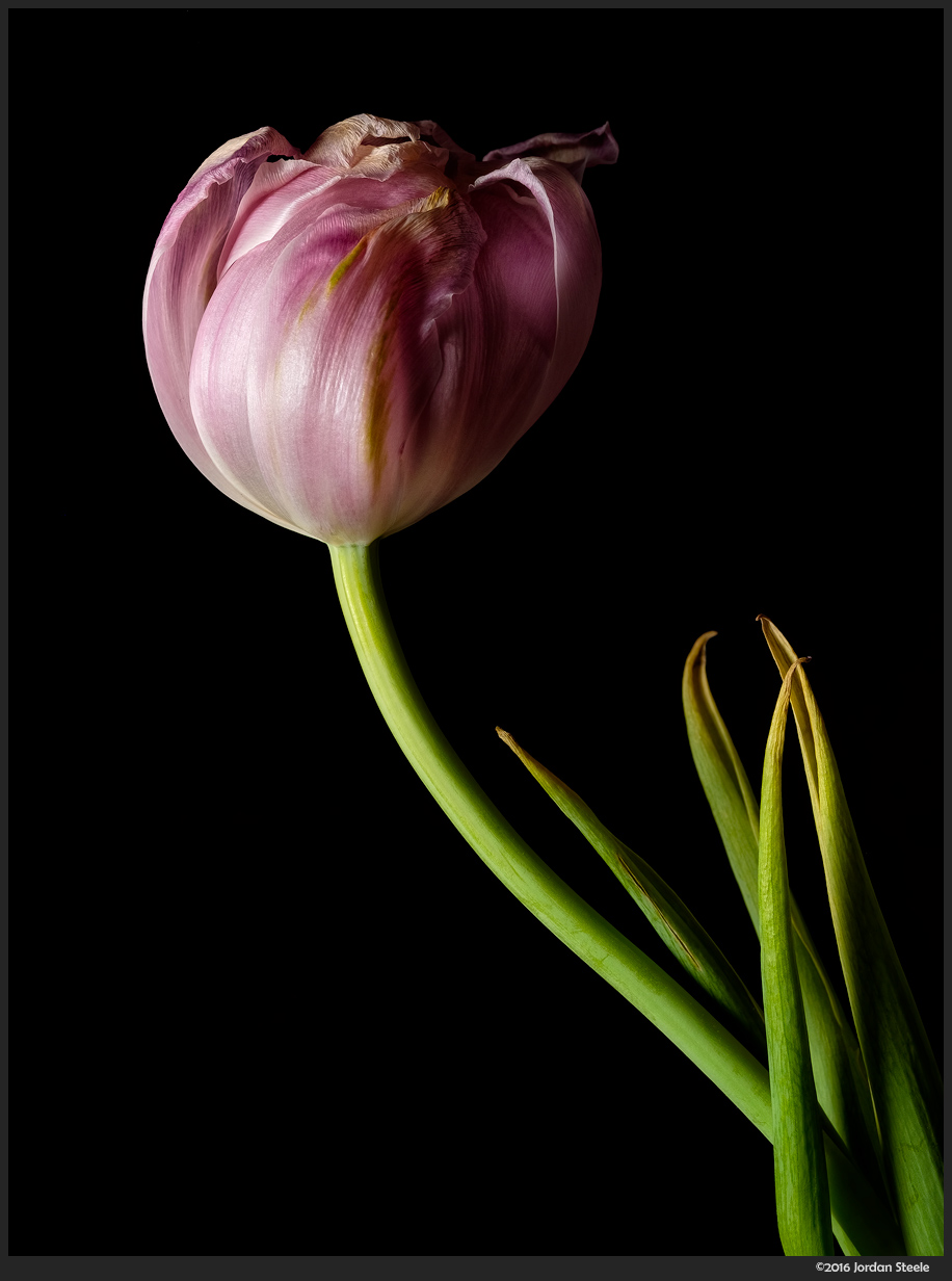 Wilting Tulip - Fuji X-T1 with Fujinon XF 60mm f/2.4 With off-camera flash to the left.