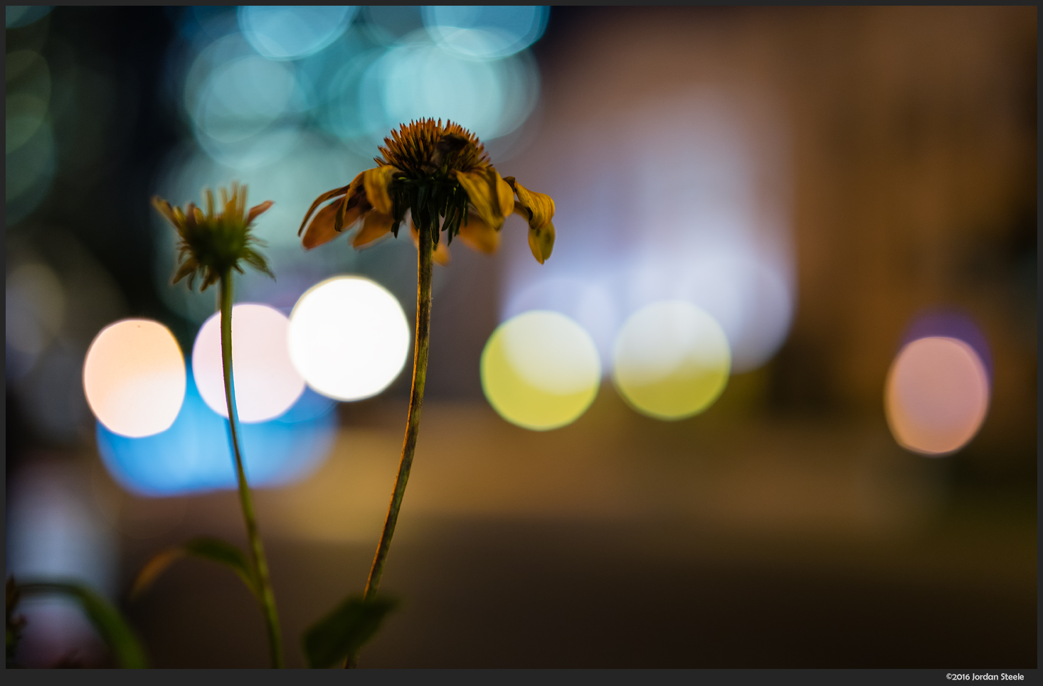 Coneflowers at Night - Sony A7 II with Zeiss FE 50mm f/1.4 @ f/1.4