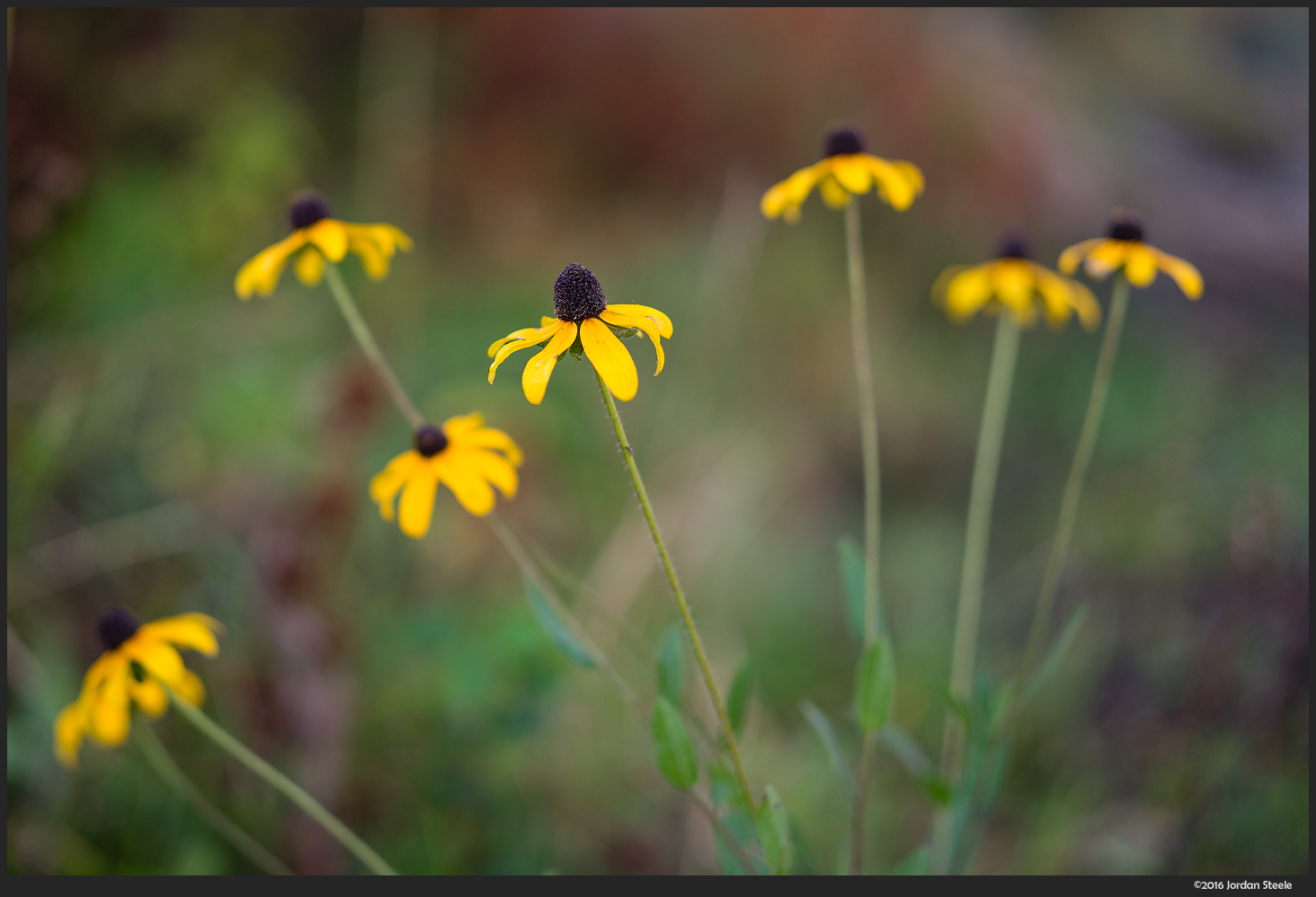 Black Eyed Susans - Sony A7 II with Zeiss FE 50mm f/1.4 @ f/1.4