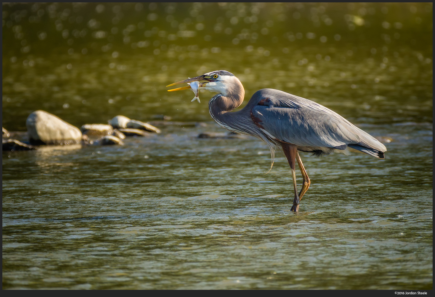 Great Blue Heron Fishing in the Scioto - Olympus OM-D E-M10 Mark II with Panasonic-Leica 100-400mm @