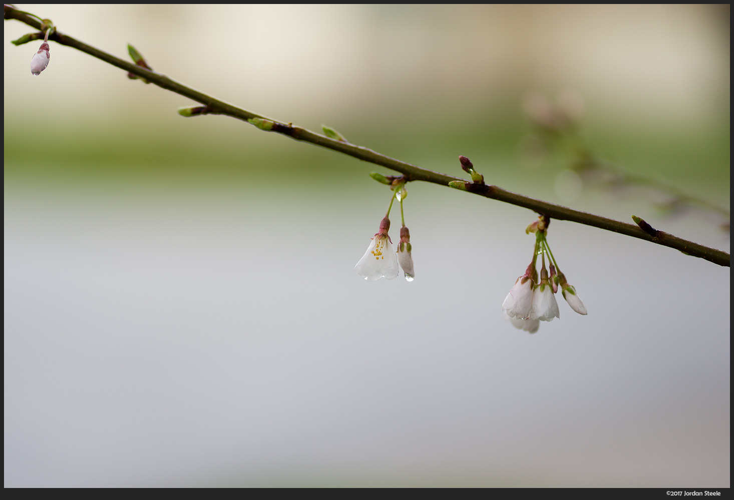 Blossoms after the Rain - Sony A7 II with Sony FE 85mm f/1.8 @ f/1.8