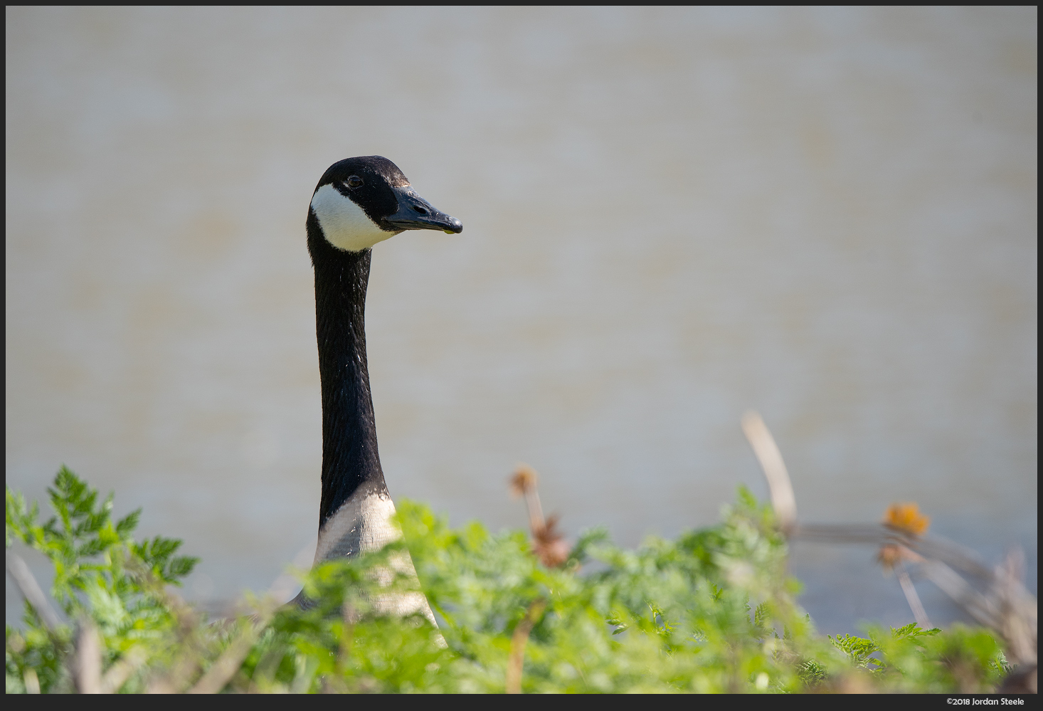 Goose - Sony A7 III with Sigma 100-400mm f/5-6.3 @ 400mm, f/6.3